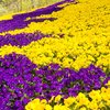 Brightly Coloured Spring Annuals