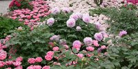 Shrub Peony Collection